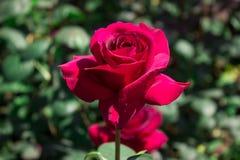 El rojo se levantó en el jardín Foto de archivo libre de regalías
