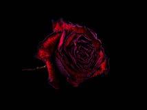 El rojo se levantó en fondo negro Fotografía de archivo libre de regalías