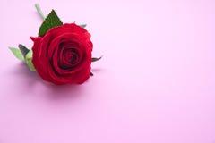 El rojo se levantó en fondo rosado Foto de archivo libre de regalías