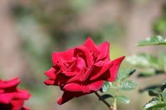 El rojo se levantó en el jardín Imagenes de archivo