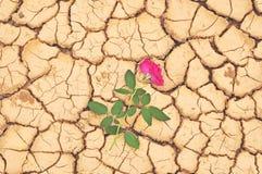 El rojo se levantó en la tierra agrietada Foto de archivo