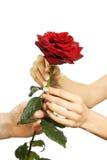 El rojo se levantó en manos de la hembra y del hombre Imagen de archivo libre de regalías