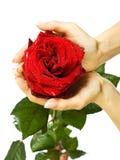 El rojo se levantó en manos femeninas Imagen de archivo
