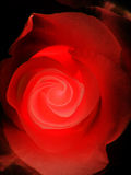 El rojo se levantó en negro Fotografía de archivo