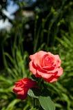 El rojo se levantó en un jardín Foto de archivo libre de regalías