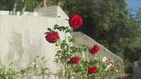 El rojo se levantó Las rosas rojas crecen almacen de video