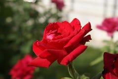 El rojo se levantó Pétalos grandes Flor del amor Foto de archivo