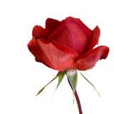 El rojo se levantó. Foto de archivo libre de regalías