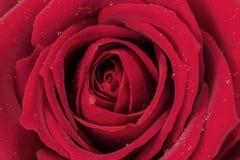 El rojo se levantó Fotos de archivo libres de regalías