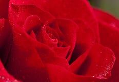 El rojo se levantó Foto de archivo