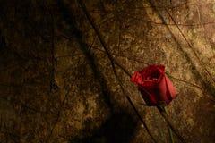 El rojo triste se levantó Imagen de archivo
