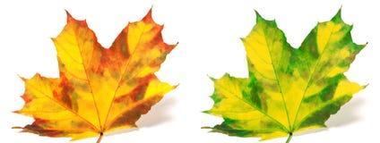 El rojo y el verde amarillearon las hojas de arce aisladas en el fondo blanco Imágenes de archivo libres de regalías