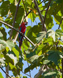 El Rojo-y-Verde-Macaw poderoso Fotografía de archivo