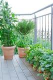 El romero del tomate de fresa planta el balcón de los potes Imágenes de archivo libres de regalías