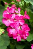 El rosa brillante florece el fondo foto de archivo libre de regalías