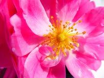 El rosa coloreado salvaje subió en la opinión del primer Foto de archivo libre de regalías