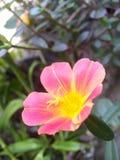El rosa de la flor Fotografía de archivo libre de regalías