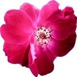 El rosa de la visión superior subió las flores aisladas en el fondo blanco imagen de archivo libre de regalías