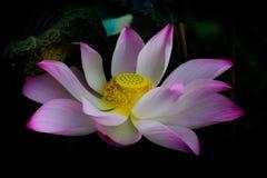 El rosa del pétalo de Lotus es final floreciente Imagen de archivo