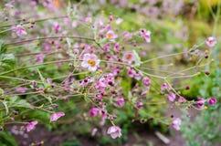 El rosa del tomentosa de la anémona (anémona de la hoja del grapewine) florece Foto de archivo libre de regalías