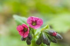 El rosa florece el foco suave del lungwort de Pulmonaria Fotos de archivo libres de regalías