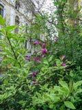 El rosa florece la casa verde de los arbustos Foto de archivo libre de regalías