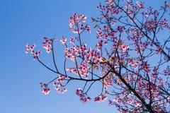 El rosa florece la flor de cerezo o la flor de Sakura con con el cielo azul Fotos de archivo