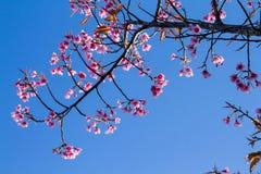 El rosa florece la flor de cerezo o la flor de Sakura con con el cielo azul Fotos de archivo libres de regalías