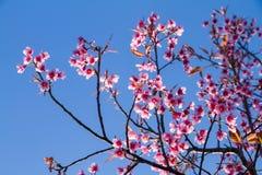 El rosa florece la flor de cerezo o la flor de Sakura con con el cielo azul Imagenes de archivo
