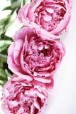 El rosa florece peonías Imagen de archivo libre de regalías
