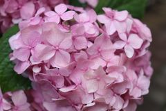 El rosa florece el primer Rocío de la mañana imagen de archivo libre de regalías