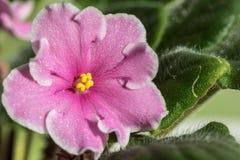 El rosa florece violetas Imagen de archivo