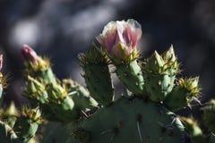 El rosa floreció el cactus del higo chumbo Fotografía de archivo libre de regalías