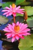 El rosa hermoso waterlily florece y las hojas Fotos de archivo