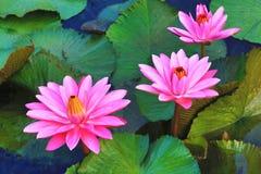 El rosa hermoso waterlily florece y las hojas que florecen en la charca Imagen de archivo libre de regalías