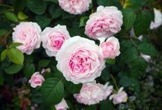 El rosa inglés Olivia del arbusto subió Austin en jardín imagen de archivo libre de regalías