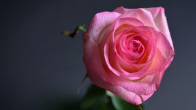 El rosa ofbeautiful del lanzamiento del primer subió todo el día de largo con el fondo aislado en oscuridad almacen de metraje de vídeo