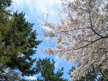 El rosa Sakura de la plena floración ramifica y escena imperecedera del árbol con el bl Fotos de archivo