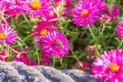 El rosa salvaje florece el flor en luz del sol con la abeja Fotografía de archivo libre de regalías