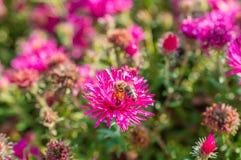 El rosa salvaje florece el flor en luz del sol con la abeja Fotos de archivo
