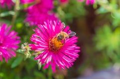 El rosa salvaje florece el flor en luz del sol con la abeja Foto de archivo libre de regalías