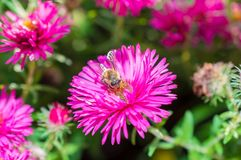El rosa salvaje florece el flor en luz del sol con la abeja Imágenes de archivo libres de regalías
