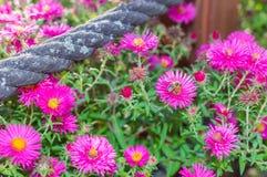 El rosa salvaje florece el flor en luz del sol con la abeja Fotos de archivo libres de regalías