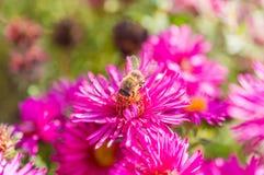 El rosa salvaje florece el flor en luz del sol con la abeja borrosa Fotografía de archivo
