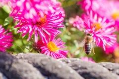 El rosa salvaje florece el flor en luz del sol con la abeja borrosa Imágenes de archivo libres de regalías