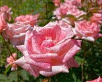 El rosa subió cultivo de las flores, bokeh fuerte foto de archivo