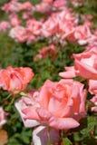 El rosa subió cultivo de las flores, bokeh fuerte fotos de archivo libres de regalías