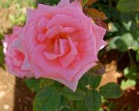 El rosa subió flor en el jardín, visión superior fotos de archivo libres de regalías