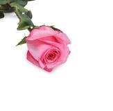 El rosado se levantó Foto de archivo