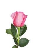 El rosado se levantó Fotografía de archivo libre de regalías